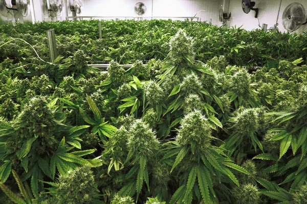 Imputes Gained By Recreational Marijuana Ballot Initiative Of Florida
