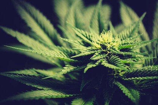 EU Regulatory Framework Needed On Medical Cannabis