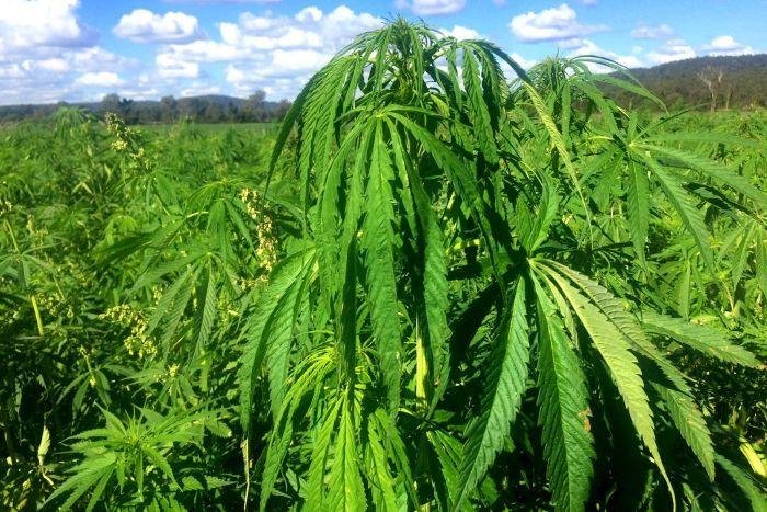 Cannabis Extract Market